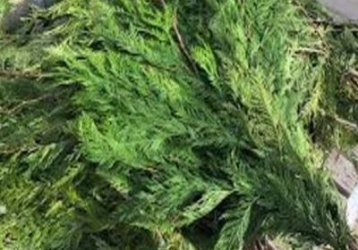 Winter Greens (mix of cedar and pine) 7-10 stems (30-40